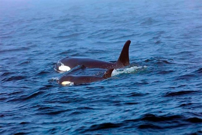 Southern Resident killer whale J50 and her mother, J16, are seen off the west coast of Vancouver Island near Port Renfrew, B.C., on August 7, 2018 in this handout photo. THE CANADIAN PRESS/HO - Fisheries and Oceans Canada - Brian Gisborne