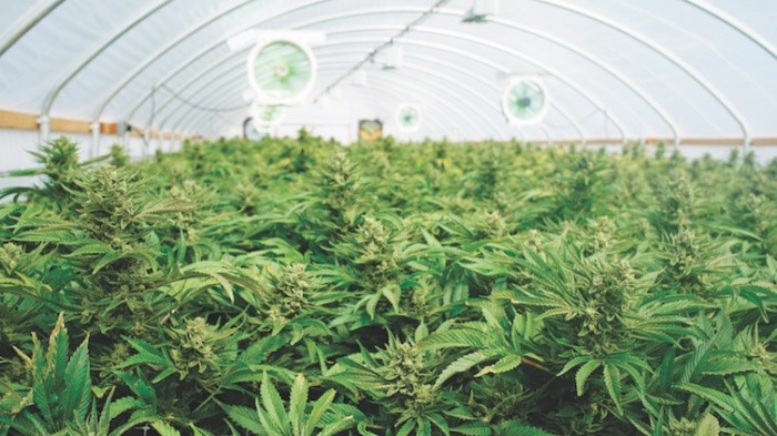 Cannabis in greenhouse/Shutterstock