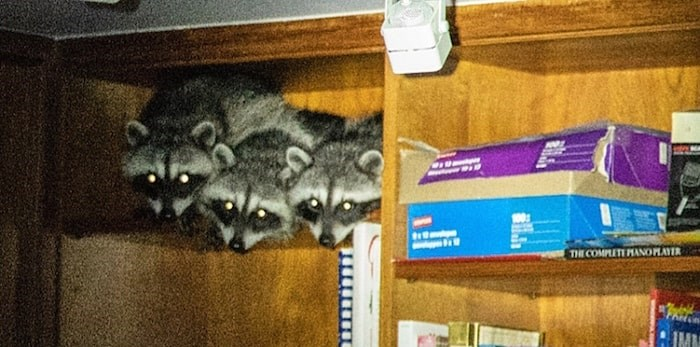 A family in West Vancouver was awoken by a group of hungry, and noisy, raccoons last night. (Photo courtesy Stephanie La Porta)