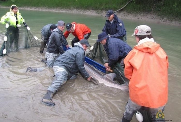 First Nations Police officers work to capture, and later release, a sturgeon on the banks of the Fraser river in a Sept. 20, 2018, handout photo. THE CANADIAN PRESS/HO-RCMP