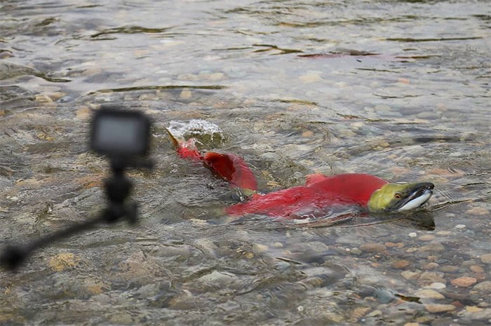 Some zealous salmon watchers get their selfie sticks a little too close to the fish. Try to give them more space than the pair of sockeye pictured here at the Adams River salmon run. Photo Bob Kronbauer