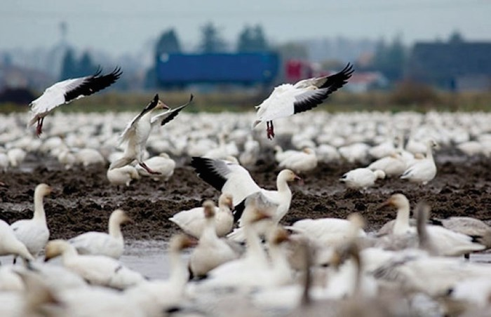 The Return of the Snow Geese and other Migratory Birds to the Fraser River will feature a walk-and-talk led by SFU professor Dr. Rob Butler. File photo.