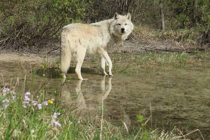 Photo: Northern Lights Wildlife Wolf Centre /