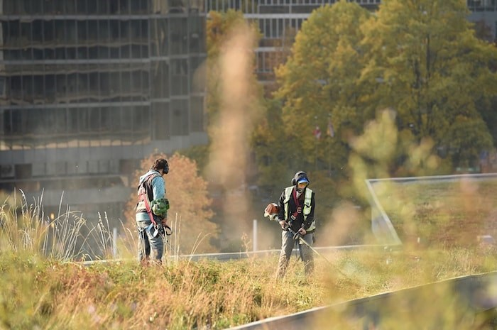 Landscaping crews started the annual mowing of the green roof at Vancouver Convention Centre this week. It takes about two weeks to trim and mow the six-acres living roof. Photo Dan Toulgoet