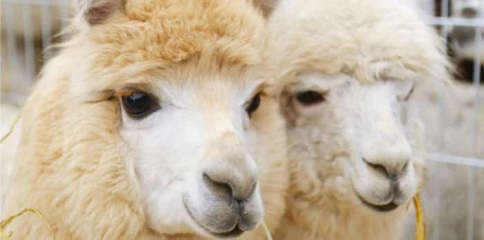 Two fluffy alpacas / Shutterstock