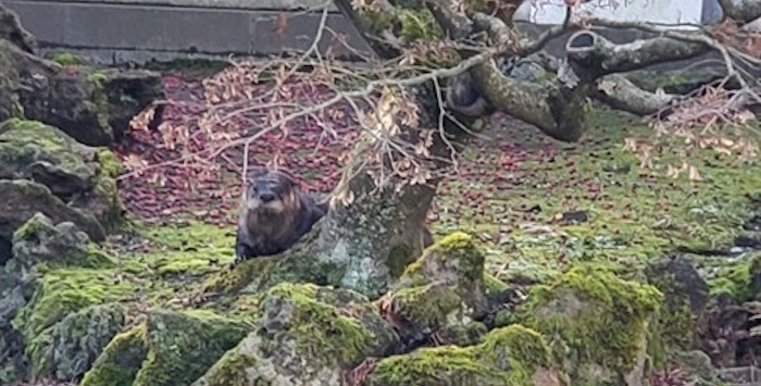 An otter is seen behind a tree in the Dr. Sun Yat-Sen Classical Chinese Garden, in Vancouver in a recent handout photo. THE CANADIAN PRESS/Sadie Brown