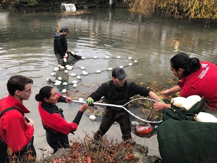 Staff from Vancouver Aquarium, Dr. Sun Yat-Sen and Vancouver Park Board, with help from Aquaterra Environmental, which donated the use of its 100-foot seine net, corralled the remaining adult koi as well as 344 juveniles Wednesday. Photo submitted