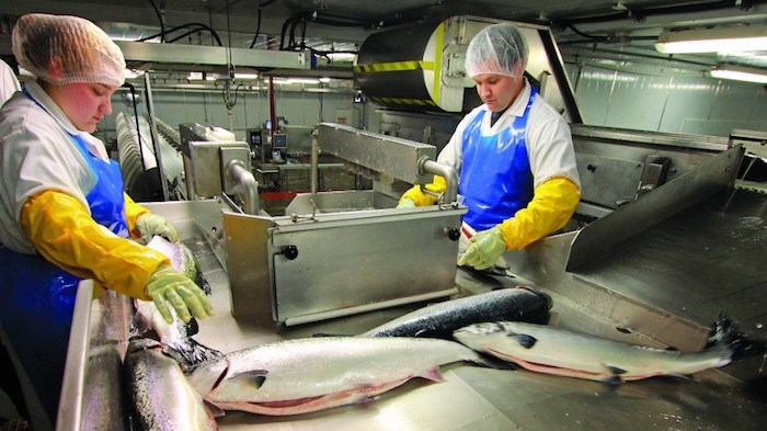 Extent of job losses from closure of salmon farms not clear. (Marine Harvest)