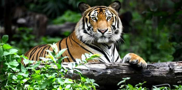 tiger in the forest / shutterstock