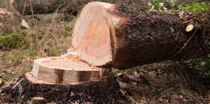 Tree cut down/Shutterstock