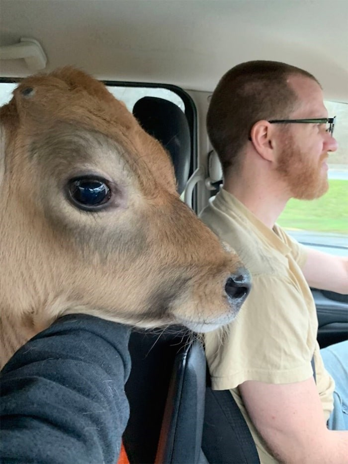 A calf named Rusty is driven to a sanctuary in Kelowna by Hugo Slabbert and his wife Sarien. The calf was one of nine rescued over the winter break. Photo submitted.
