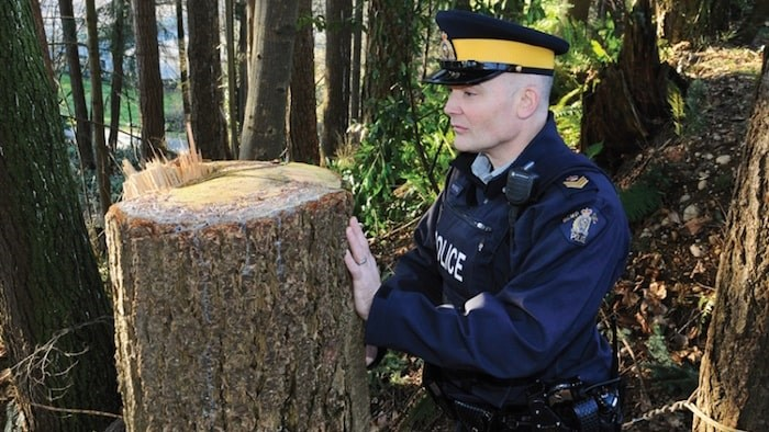 North Vancouver RCMP Sgt. Doug Trousdell inspect the stumps of one of the trees deliberately cut outside Inter River Park. Police say there is no apparent motive for the illegal cutting. photo Cindy Goodman, North Shore News