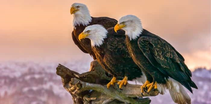 Three eagles / Shutterstock