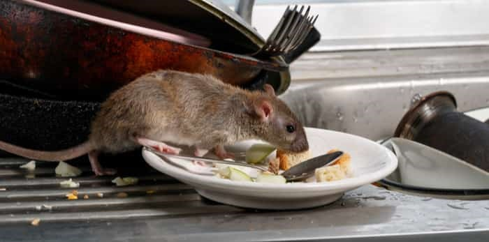 Close-up young rat sniffs leftovers on a plate on sink at the kitchen. / Shutterstock