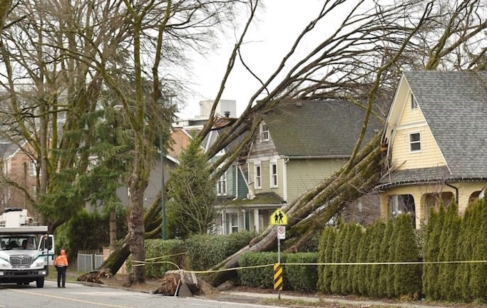 The windstorm downed several large trees across the city. Photo by Dan Toulgoet