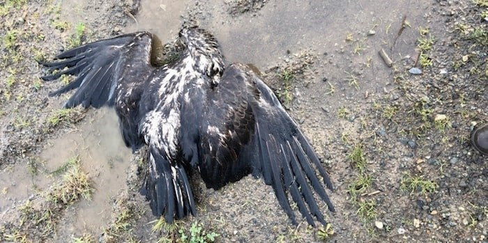 Bald eagle was found dead in Herd Road area of North Cowichan. Photo courtesy Raptor Rescue Society