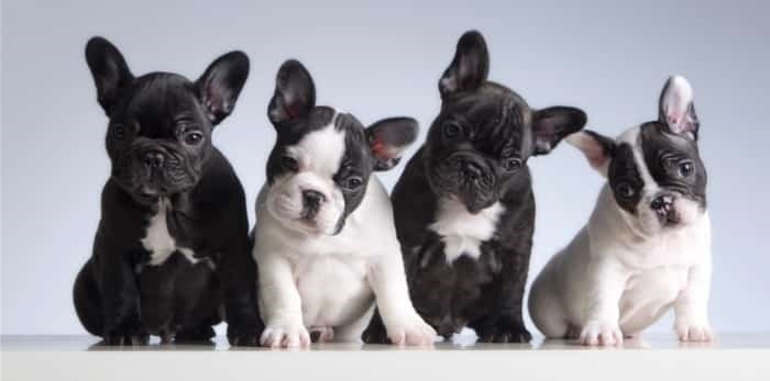 French bulldog puppies / Shutterstock