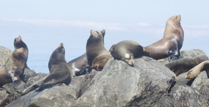 These sea lions off the coast of Steveston could soon be on the menu if a First Nations society gets the green light to kick off a commercial hunt. File photo, Richmond News