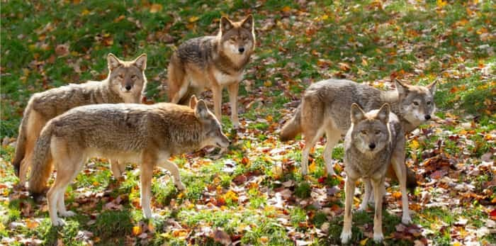 Coyotes (Canis latrans) standing in a grassy green field in the golden light of autumn in Canada / Shutterstock