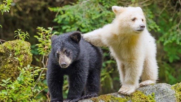 White bears are within the black bear species, but with a recessive gene that turns their fur all white. These two bear cubs are siblings in the Great Bear Rainforest. Photo by Ian McAllister