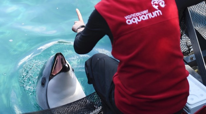Vancouver Park Board's bylaw banning the importation and keeping of cetaceans at Vancouver Aquarium is heading back to Supreme Court. Photo Dan Toulgoet