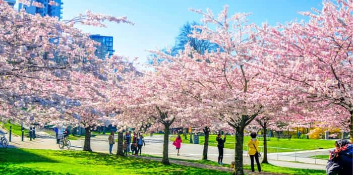 Cherry blossoms in Vancouver / Shutterstock