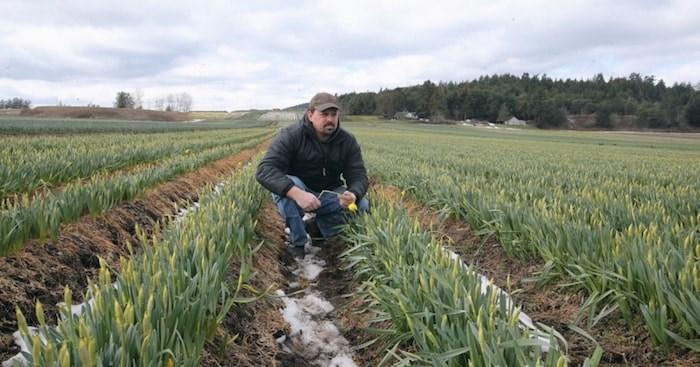 Ryan Vantreight surveys daffodil fields on the Saanich Peninsula. Photo by Adrian Lam/Times Colonist