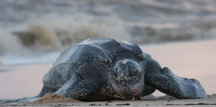 Leatherback sea turtle / Shutterstock