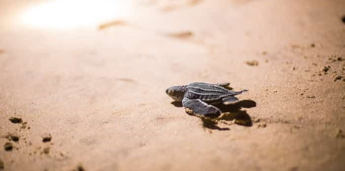 baby leatherback sea turtle on the beach / Shutterstock