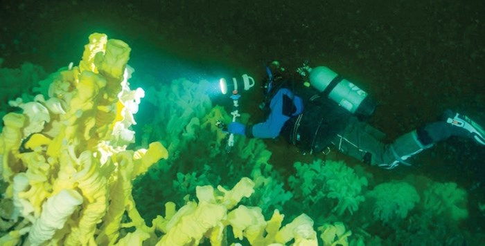 Marine Life Sanctuaries Society director Glen Dennison dives 115 feet of Halkett Point to find vegetation once thought to have gone extinct 40 million years ago: glass sponge reefs. Fisheries and Oceans Canada has established eight new marine refuges in Howe Sound. Photo supplied