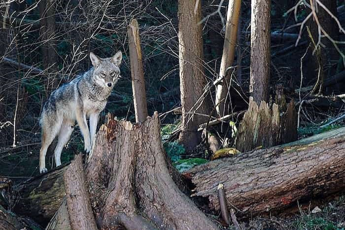 A coyote in North Vancouver. photo supplied, Norm Lee
