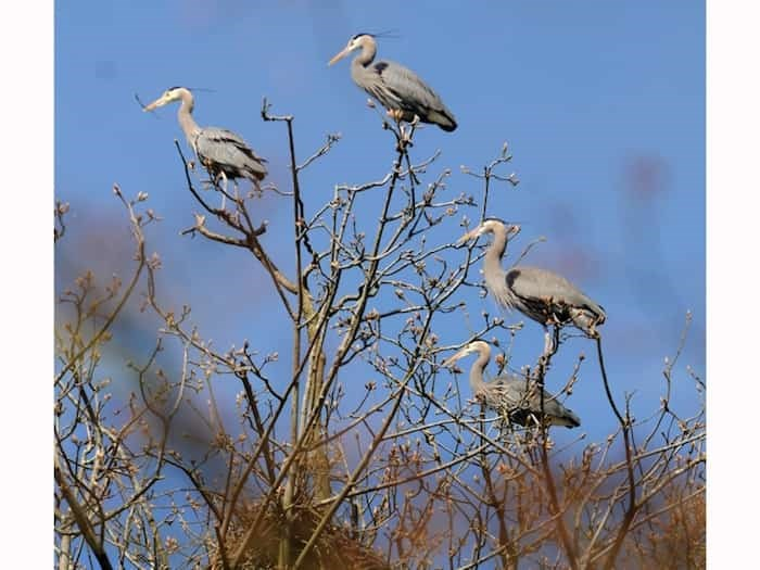 The resident long-legged Pacific Great Blue heron colony started returning to Stanley Park this week. Vancouver Park Board's Heron Cam gives the public an up close and personal view of 40 nests until the end of breeding season in August. Photo Dan Toulgoet