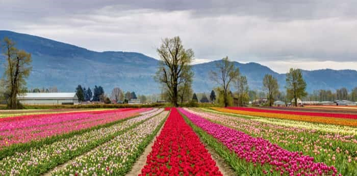 Panoramic view of colourful fields of tulips in Chilliwack / Shutterstock