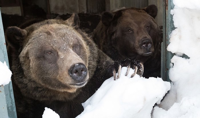 Grouse Mountain Refuge for Endangered Wildlife resident grizzly bears Grinder and Coola emerged from hibernation today following a 128-day winter dormancy. Photo courtesy Grouse Mountain.