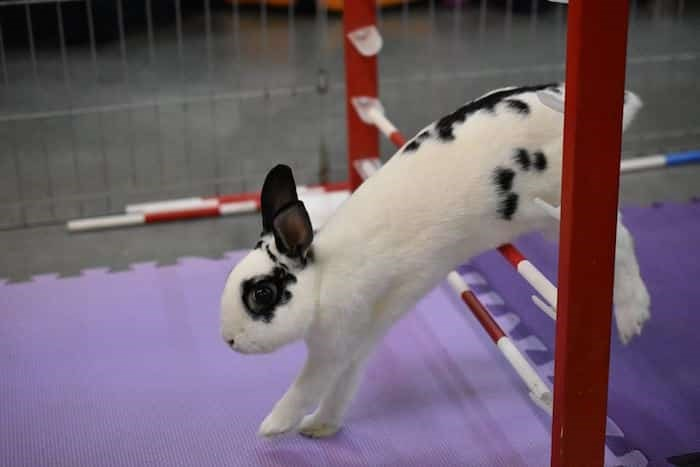The Rabbit Festival will have bunny athletes performing in agility shows. Photo: Vancouver Rabbit Agility Club