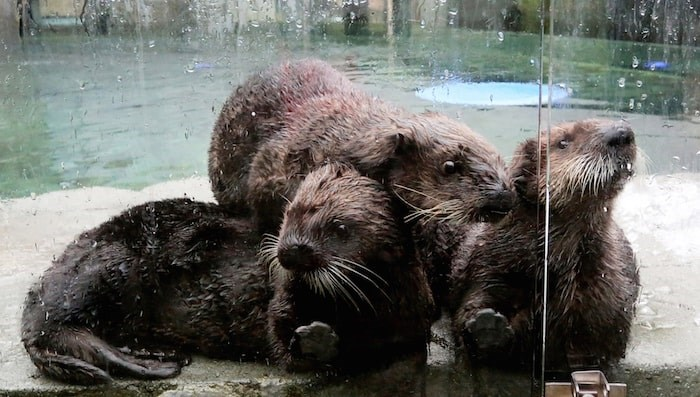 Sea otter pile at the Vancouver Aquarium with Rialto, right. Photo by Alan Berner/The Seattle Times