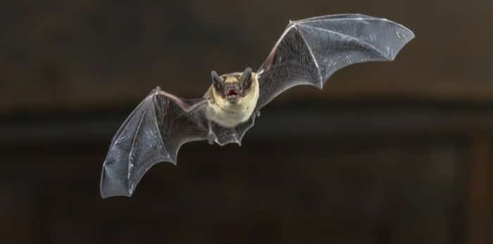 Pipistrelle bat flying in darkness / Shutterstock