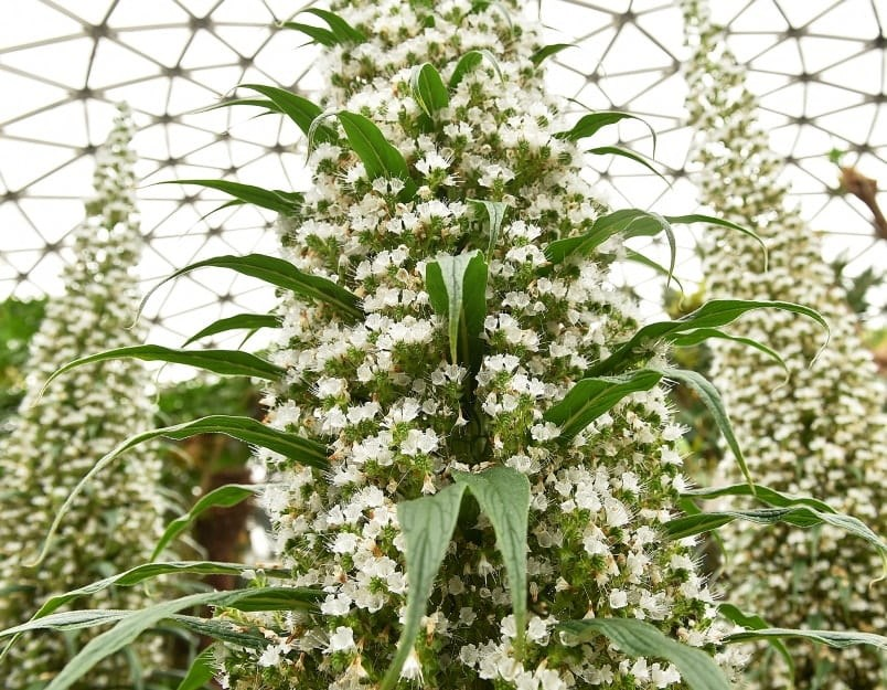 """The rare tree echieum, or """"Snow Tower"""" plant, produces white flowers on a flower spike, which can reach up to 15-feet high. Photo by Dan Toulgoet"""