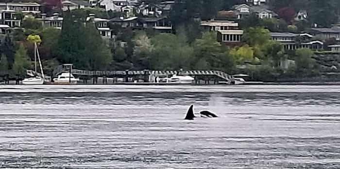A pod of orcas passes through Deep Cove on Tuesday morning. photo supplied Dennis Thomas, Takaya Tours
