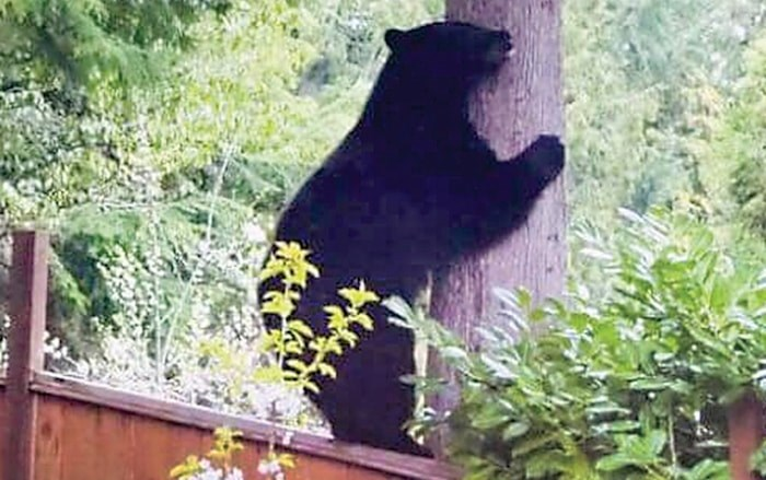 A 220-pound black bear climbs a tree in Lynn Valley. The bear has since been trapped and killed after it became habituated to eating garbage. Photo courtesy Jenny Brunhart