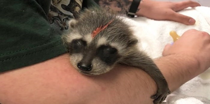 A baby raccoon at the CCWS centre. Photo: Critter Care Wildlife Society