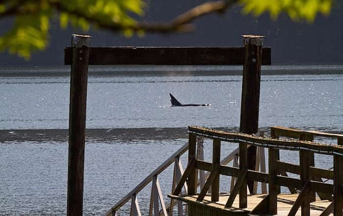 A group of transient orca whales were spotted swimming in Burrard Inlet Thursday morning. photo supplied Cooper Quinn