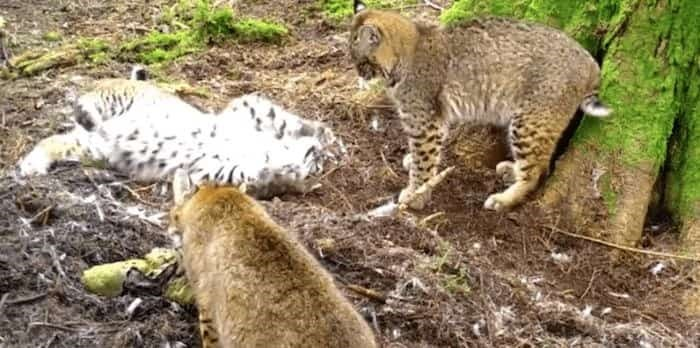 On Monday, the Mossom Creek Hatchery posted footage captured on Jan. 31 of three bobcats feasting on a deer carcass.