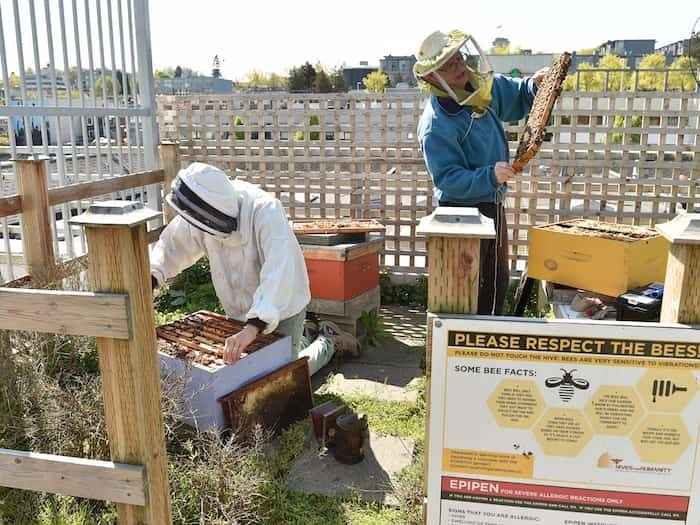 Leslie Williams and Phil Laflamme of Hives for Humanity inspect the bee hives at the VPD's Cambie Street precinct. Photo Dan Toulgoet