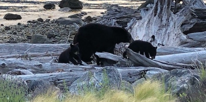 A mother bear and her two cubs, pictured here, were recently destroyed after entering a house. Photo submitted