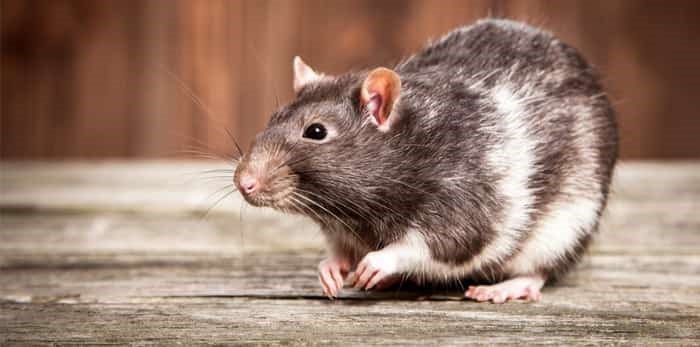 Rat with wooden background / Shutterstock
