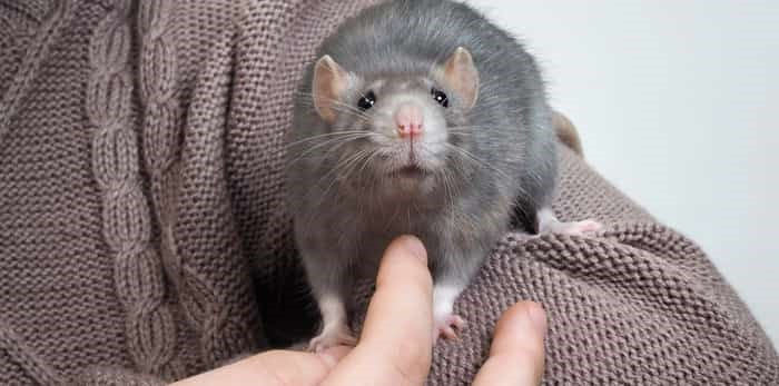Rat crawling down person's shoulder / Shutterstock