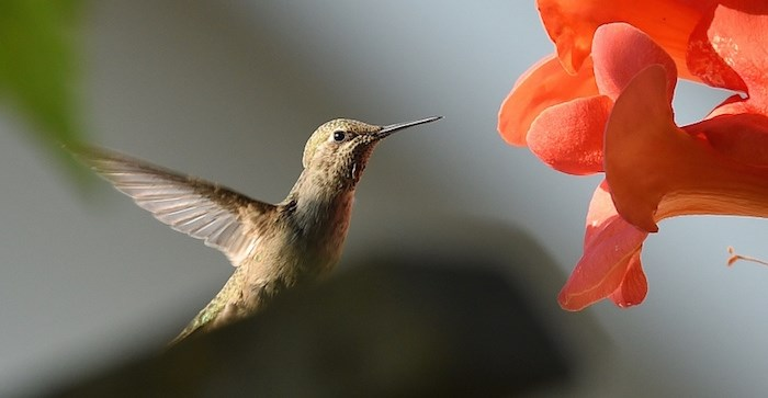 The city's official bird, the Anna's hummingbird, is a relative newcomer to Vancouver. Fifty years ago, they were nowhere to be found in British Columbia. Photo by Dan Toulgoet/Vancouver Courier