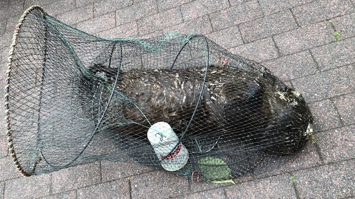 The City of New Westminster animal control services pulled a dead river otter caught in an illegal fish trap from the river on Sunday. Photo contributed.