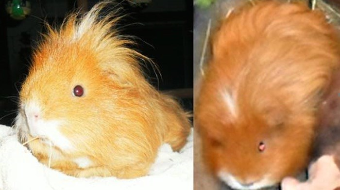 Cartoonist Ingrid Rice is Cartoonist Ingrid Rice is asking for the swift return of her stolen guinea pig. Turbo Louise needs daily heart medication, according to her owner. Photos courtesy Ingrid Rice